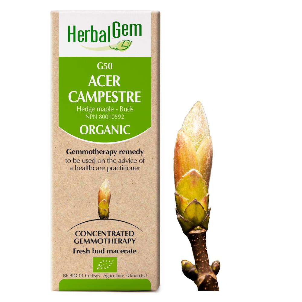 Acer campestre - Hedge Maple (buds)